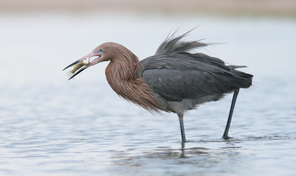 Reddish Egret and catch in the shallow north beach lagoon of Ft. Desoto at the mouth of Tampa Bay.