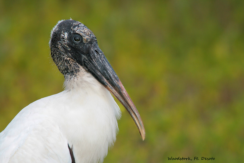 Woodstork Portrait