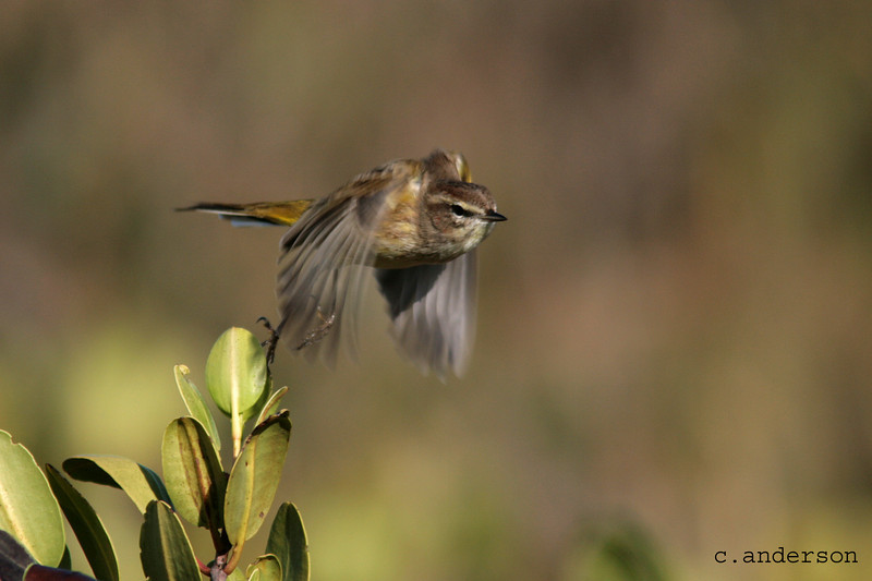 Palm Warbler in Flight