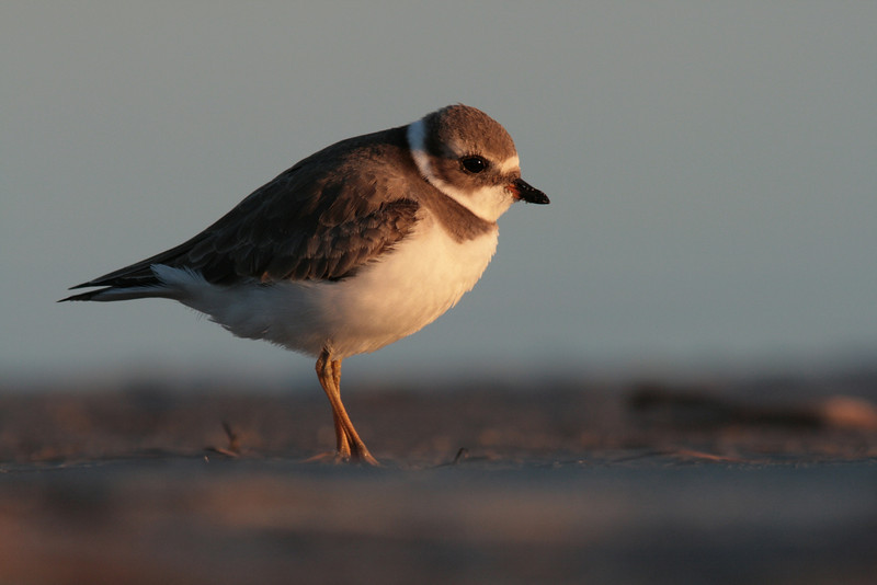 Semipalmated Plover Watches the Sunset
