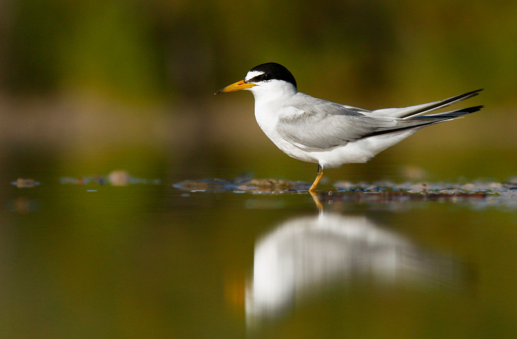 Least Tern, a threatened species