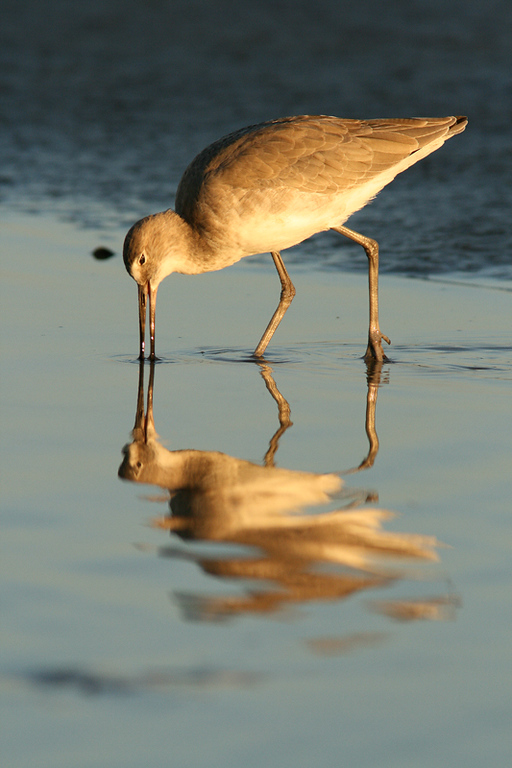 Willet Feeding at Dusk