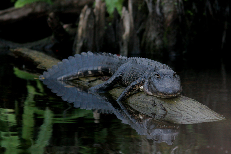 Alligator's Domain<br /> <br /> Loop Road, Big Cypress National Preserve