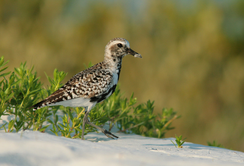Black-bellied Plover, Ft. Desoto Park