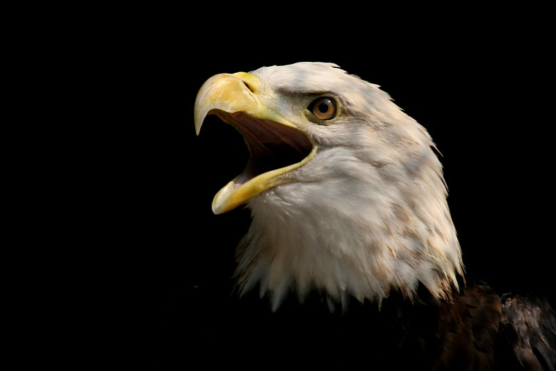 Bald Eagle Portrait<br /> <br /> Boyd Hill Rehab Center (Captive)