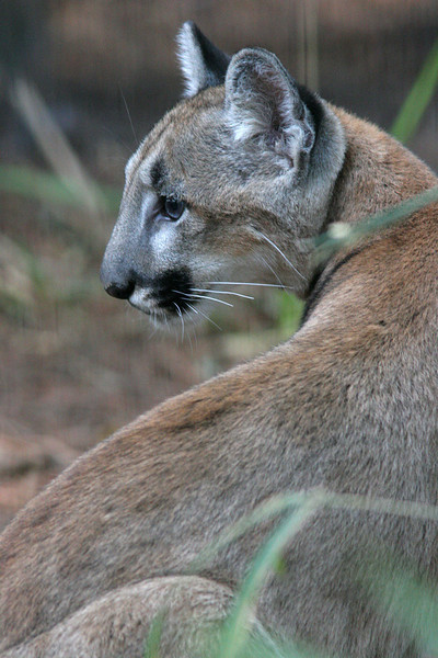 Florida Panther<br /> <br /> (captive)