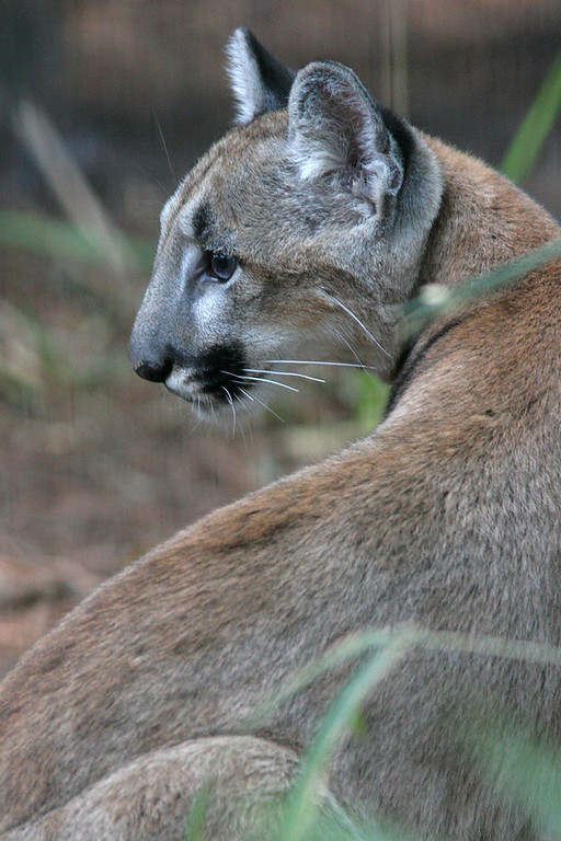 Florida Panther<br /> <br /> (captive)