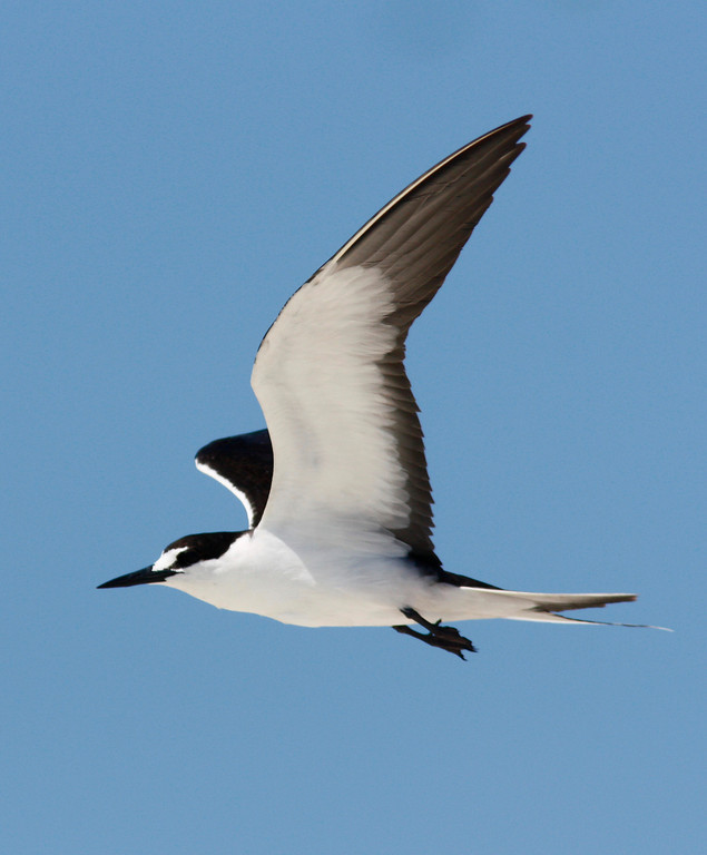 """Sooty Tern in Flight""<br /> <br /> Dry Tortugas National Park"