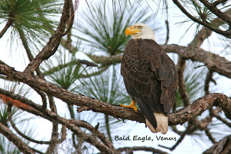 Bald Eagle in the Flatwoods