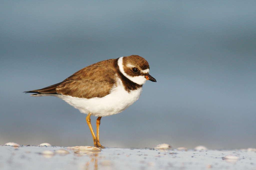 Semipalmated Plover, Ft. Desoto Park