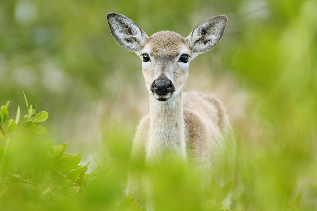 The Endangered Key Deer.  Taken at the National Key Deer Refuge, Florida Keys.