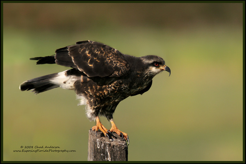 Snail Kite, Lake Toho