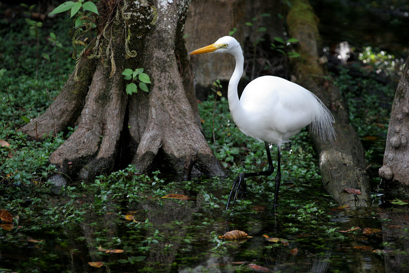 Big Cypress Great Egret