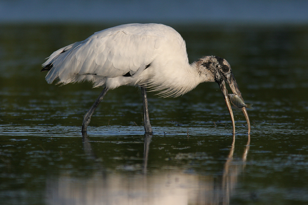"""Woodstork with Fish"""