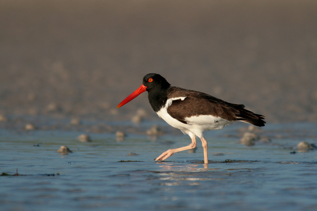 American Oystercatcher foraging