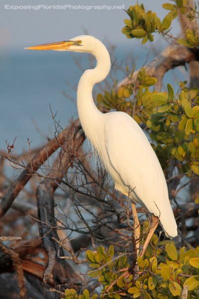 The Great White Heron (which is a color morph of the Great Blue Heron) is found only in extreme southern Florida, and are most common in the Florida Keys.