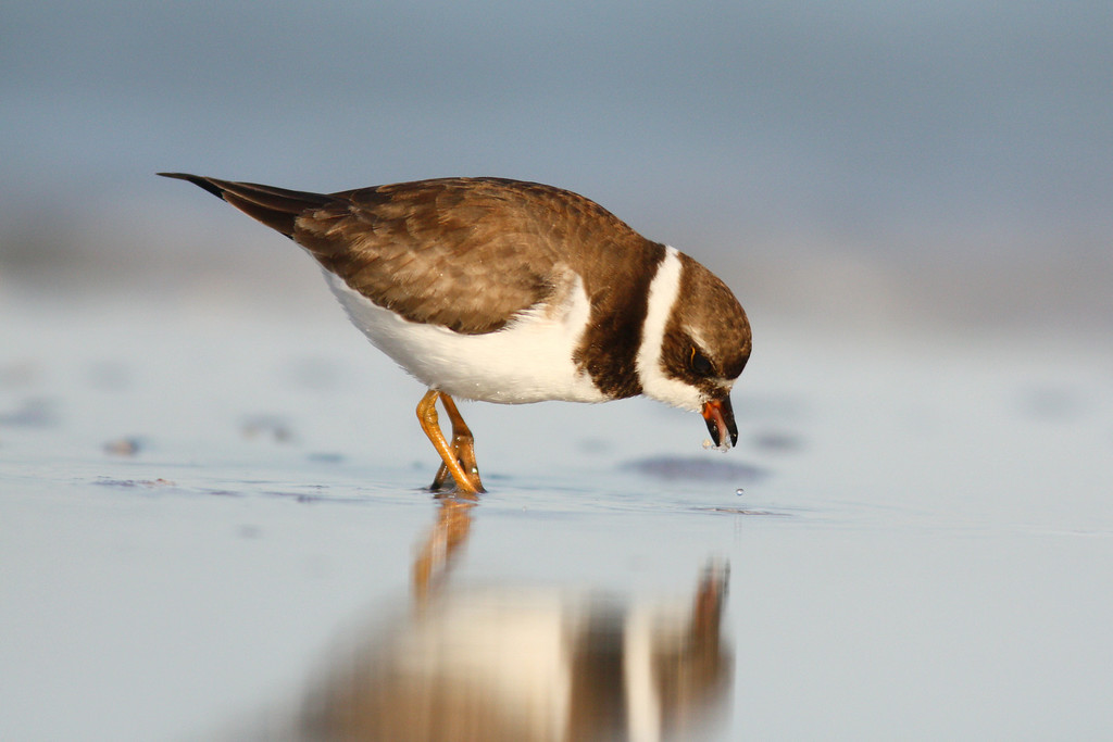 Semipalmated plover feasts on marine worms in the shoreline.