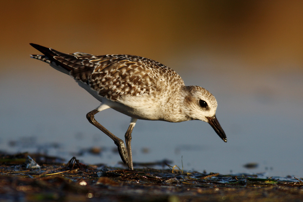 Black-bellied Plover, Ft. Desoto