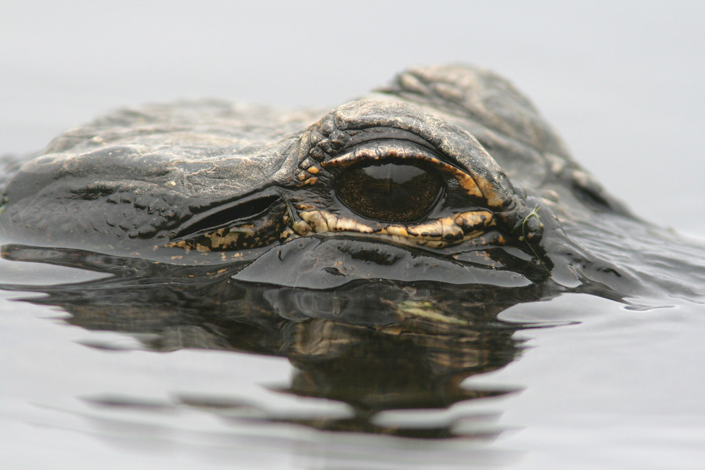 Eye to Eye with an Alligator