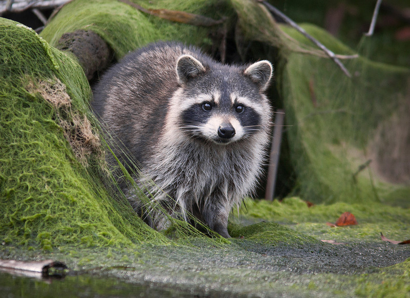 """Raccoon on the Banks"""