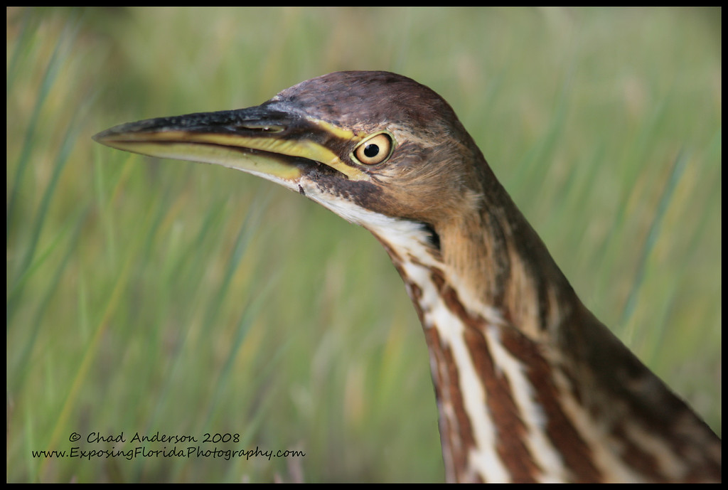 American Bittern (background composite)