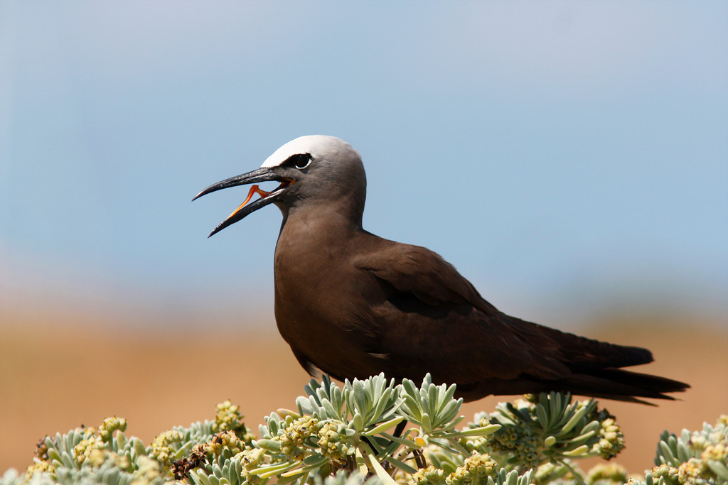 Brown Noddy in Sea Lavender