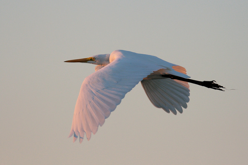 Great Egret flies into the Sunset