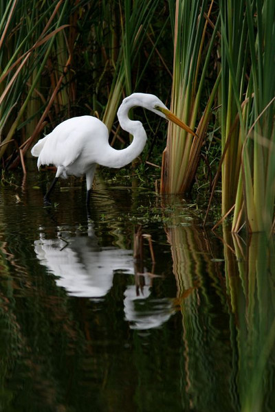 Hunting Great Egret