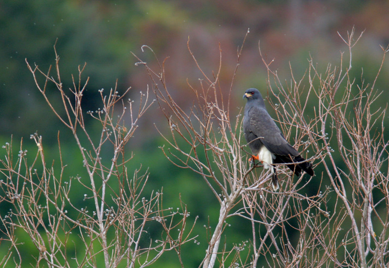 Male Everglades Snail Kite