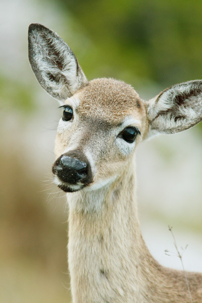 Glance from a Key Deer