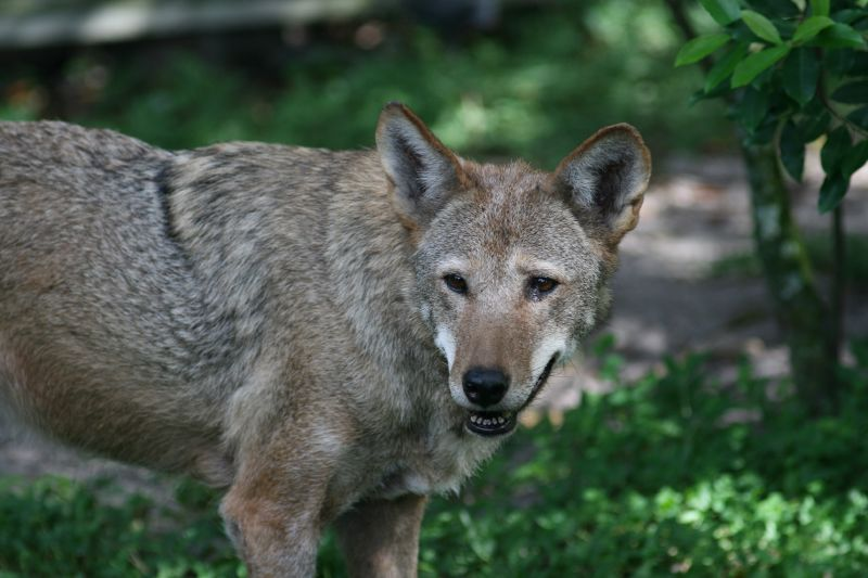 The Red Wolf (Canis rufus), once common, is one of the rarest canid species and one of the most endangered animals in the world. The Florida subspecies (Canis rufus floridanus) has been extinct since 1930. However, a re-introduction program is being conducted by the U.S. Fish and Wildlife Service in the Florida Panhandle. There are thought to be 250 red wolves left in the world, and only 50 of those live in the wild.<br /> <br /> <br /> (captive)