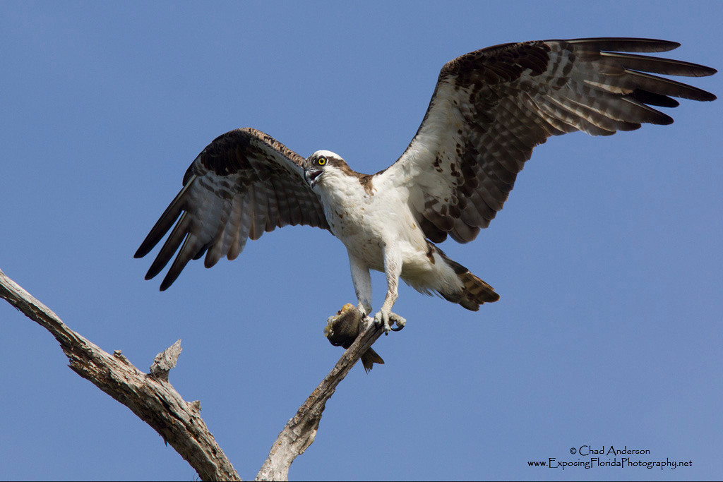 Osprey's Perch