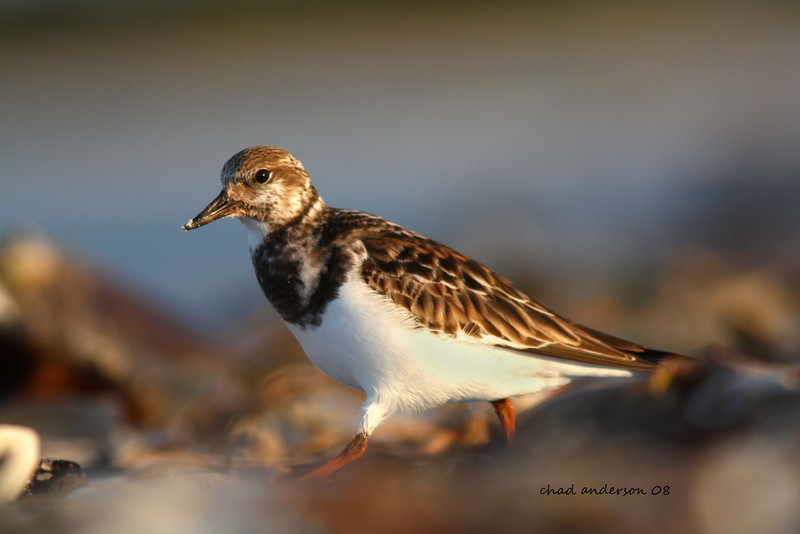 Ruddy Turnstone working the wrack line for a meal