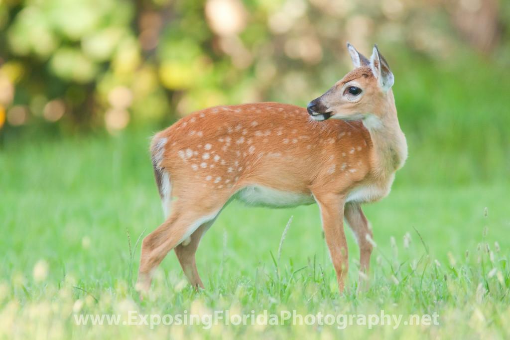 Endangered Key Deer Fawn