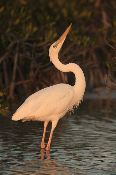 """Golden Heron""  The rare, and once hunted to extinction, great white heron poses in the last light of the evening."