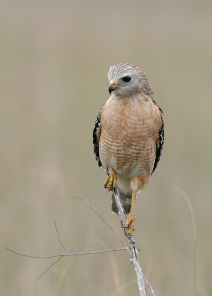 Florida race of the red-shouldered hawk searches for prey, Everglades National Park