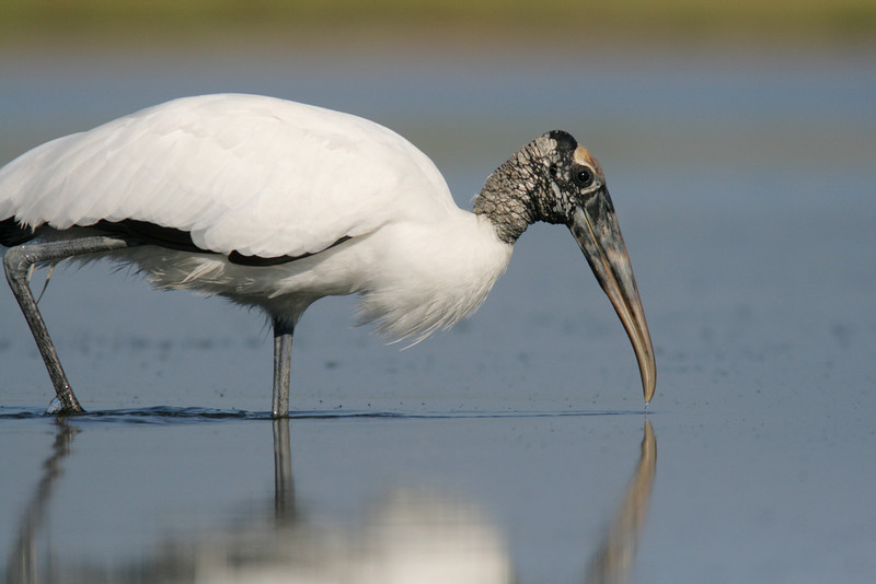 Wood Stork Forages