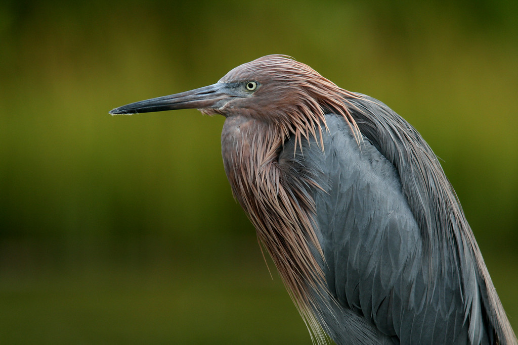 """The Stare""<br /> Reddish Egret"