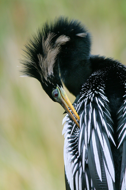 Anhinga Preens In Preparation for Spring