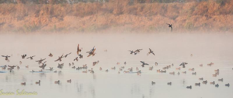 """Duck Take-off: Viera """"Click"""" Ponds"""