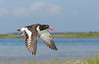 Oystercatcher in Flight