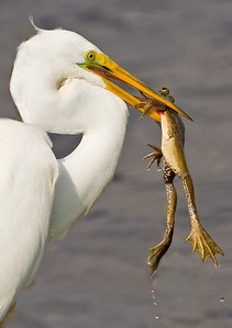 Great Egret with Frog: Viera Wetlands