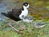 Blackneck Stilt with Chicks