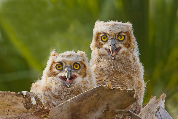 Great Horned Owl juveniles in the nest: Hutchinson Island, FL