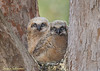 Horned Owls Chicks