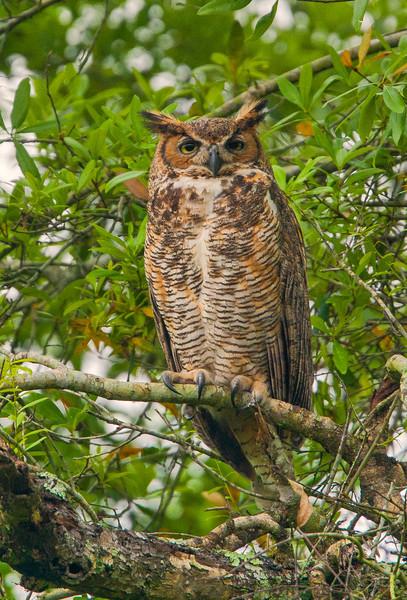 Brest horned Owl