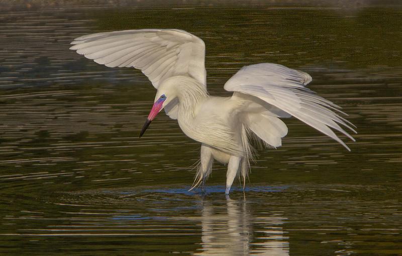 Reddish Egret-White Morph