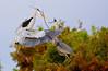 Great Blue Herons Building Nest: Wakodahatchee
