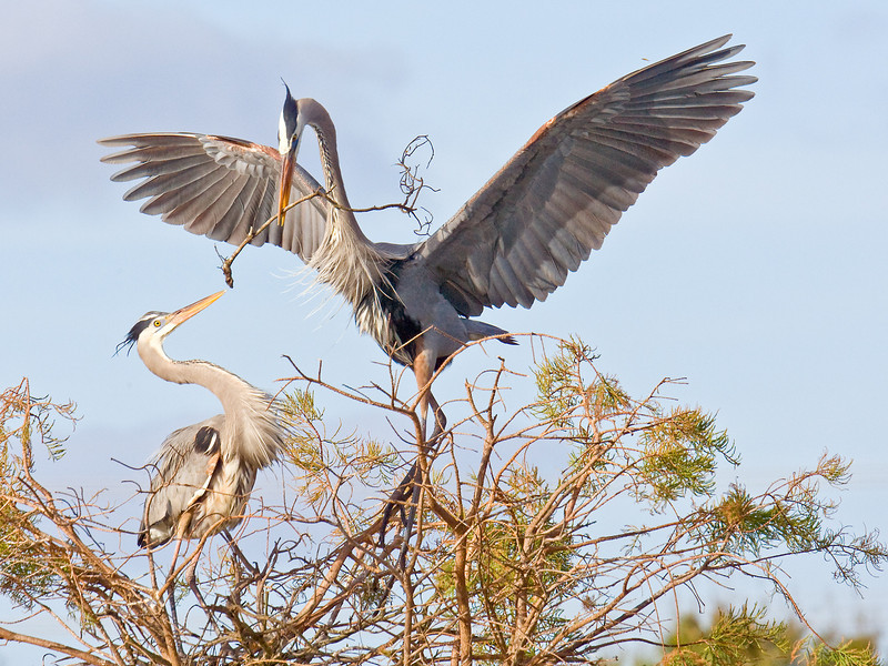 Nest-Building: Great Blue Heron