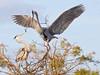 Nest-Building: Great Blue Heron